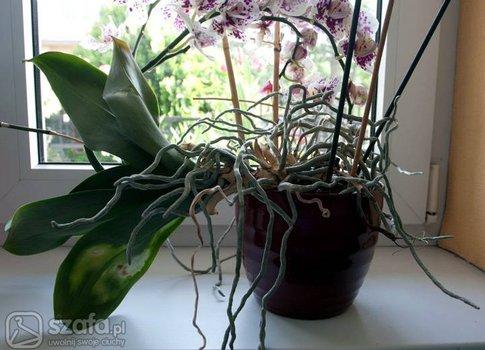 Orchidea Pielęgnacja Strona 3 Forum Szafapl