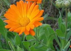 Calendula officinalis( nagietek lekarski )