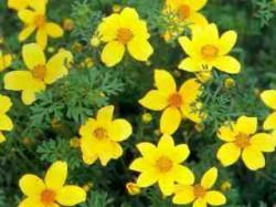 Bidens ferulifolia ( uczep rózgowaty )