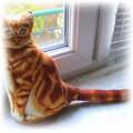 rudy kot miau